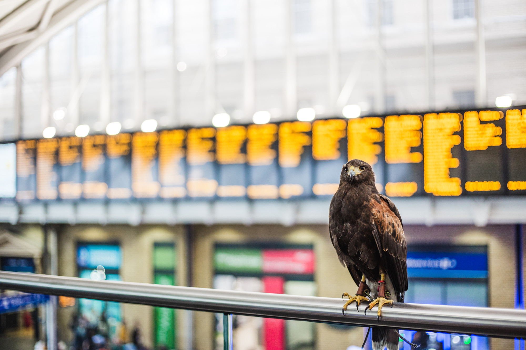 hawk-in-kings-cross-to-scare-pidgeons-away