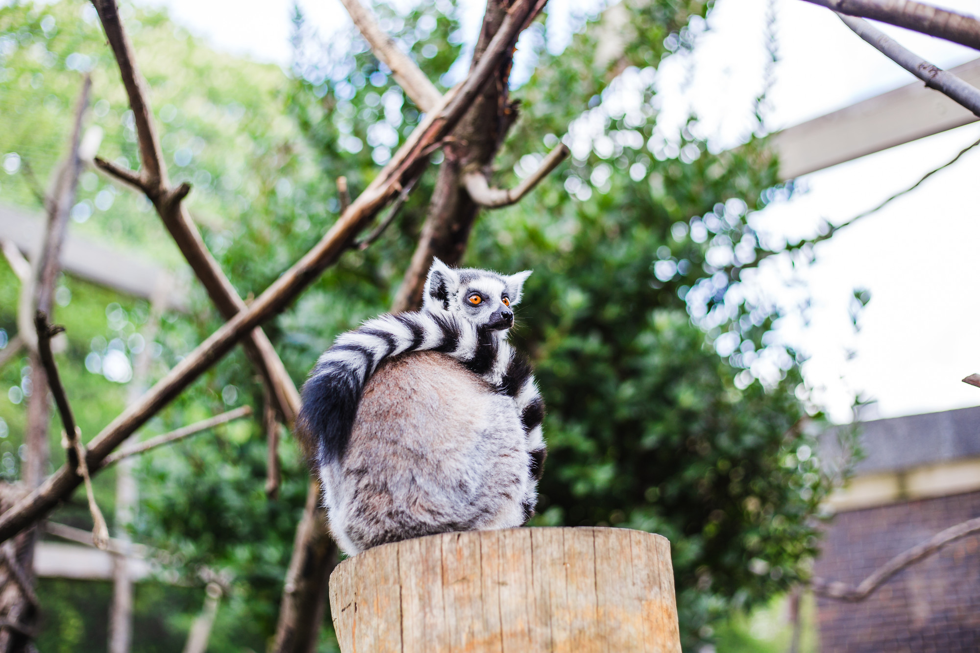 inside-the-lemur-enclosure-london-zoo