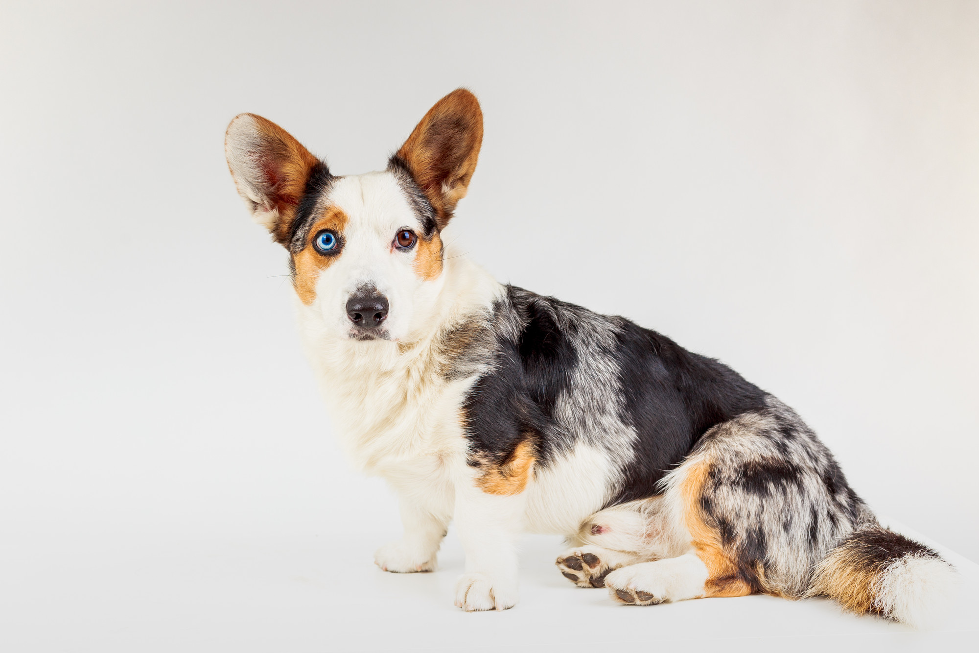 this-is-how-a-cardigan-welsh-corgi-looks