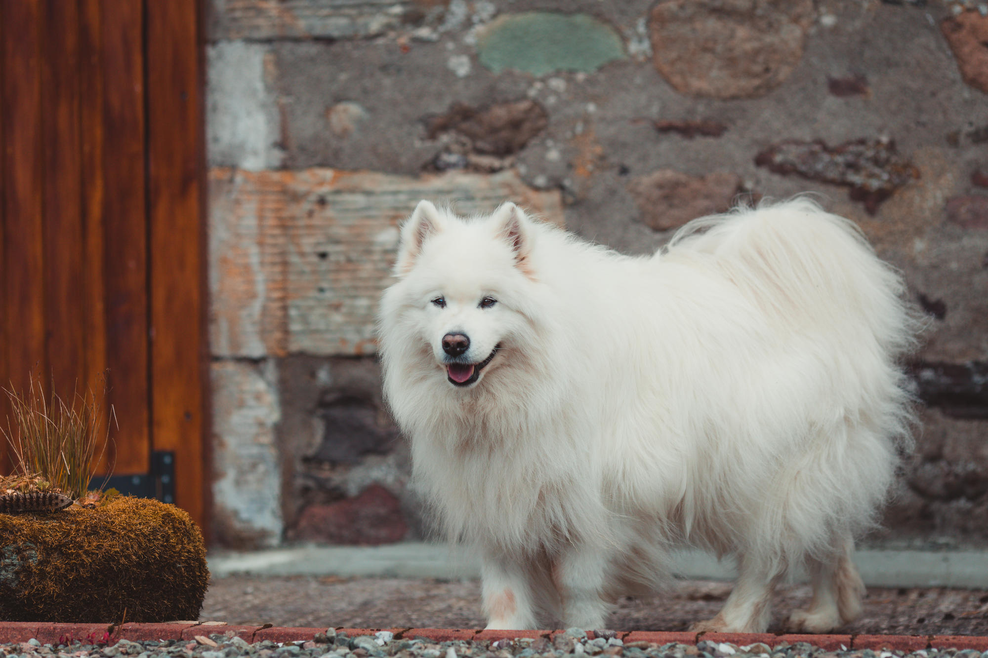 samoyeds-are-the-best-dogs