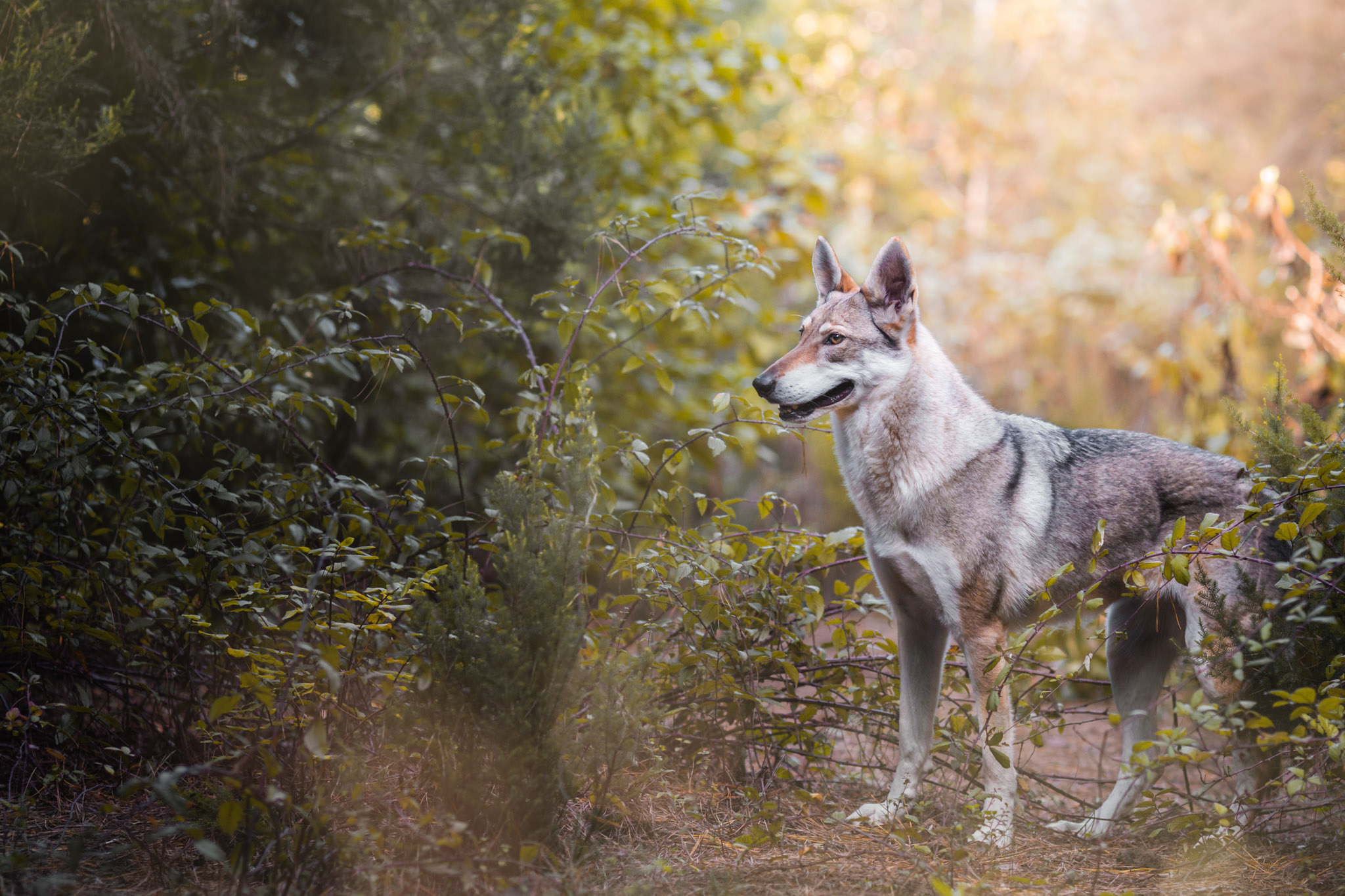 czechoslovakian-wolfdog-tenerife-the-northdogs-14