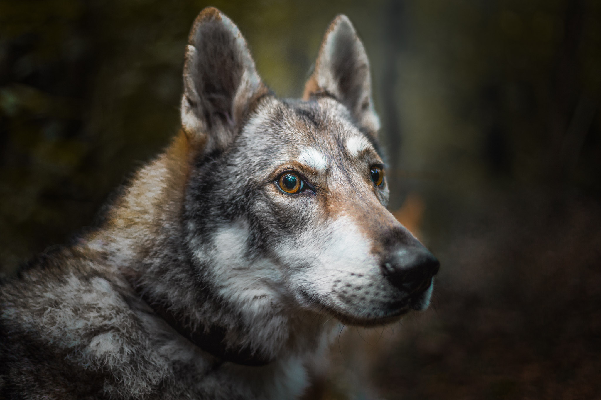 czechoslovakian-wolfdog-the-northdogs-03