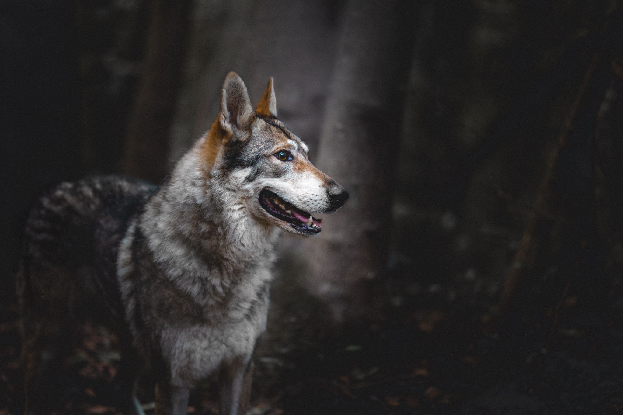 dog-photography-czechoslovakian-wolfdog-the-northdogs-02