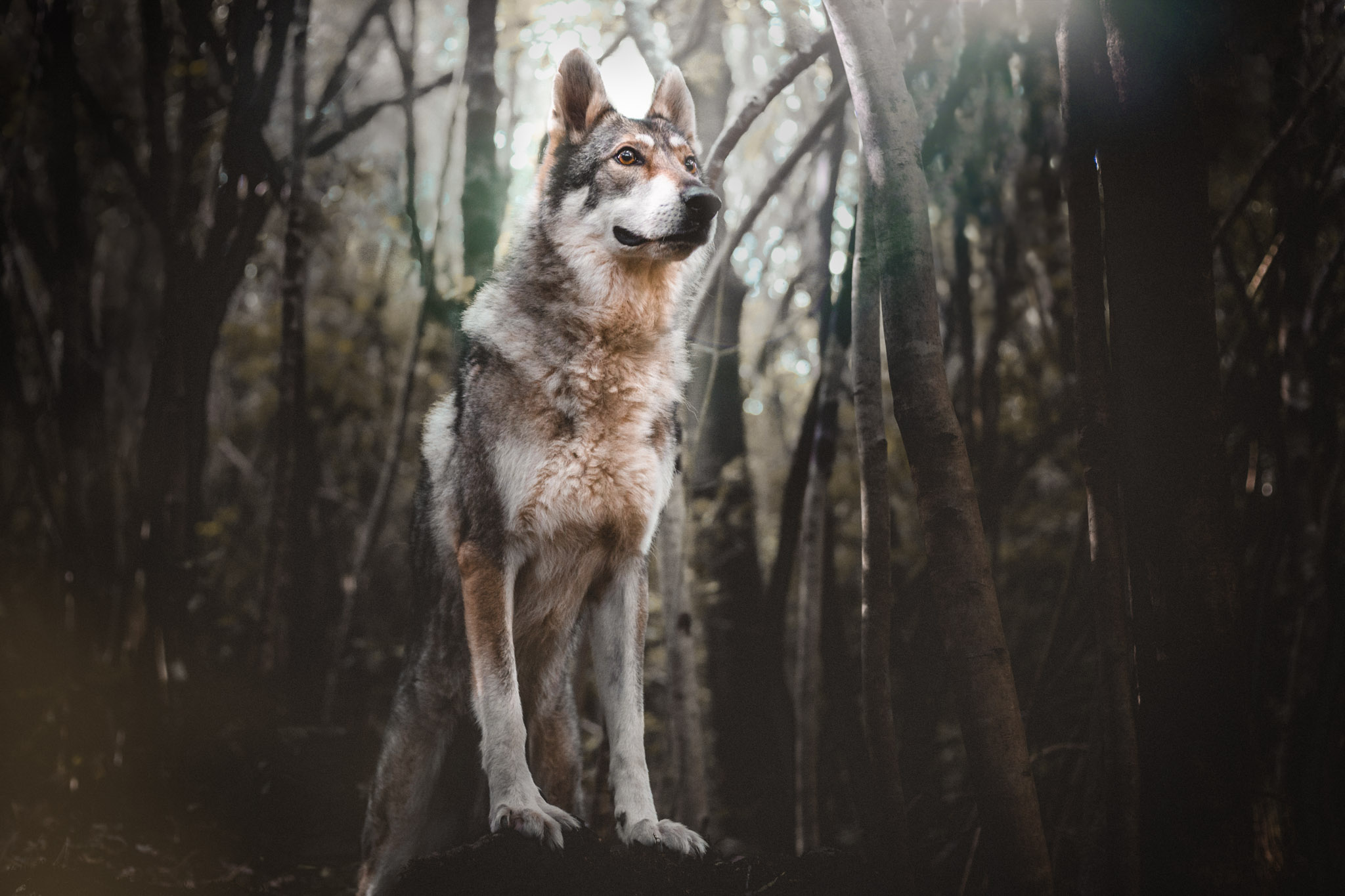 gegenwind-photography-copenhagen-wolfdog-the-northdogs-06-2